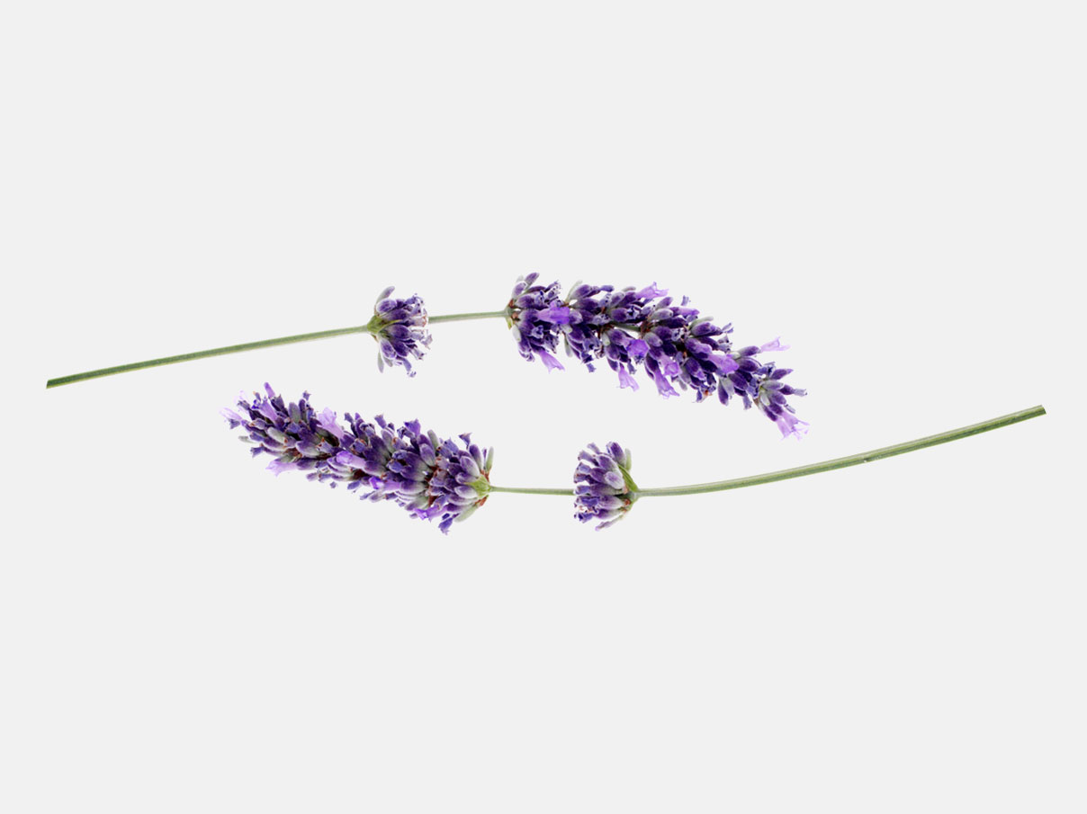 Two single lavender stems.